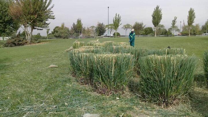 آغاز عملیات هرس و بازپیرایی درختان جنوب شهر